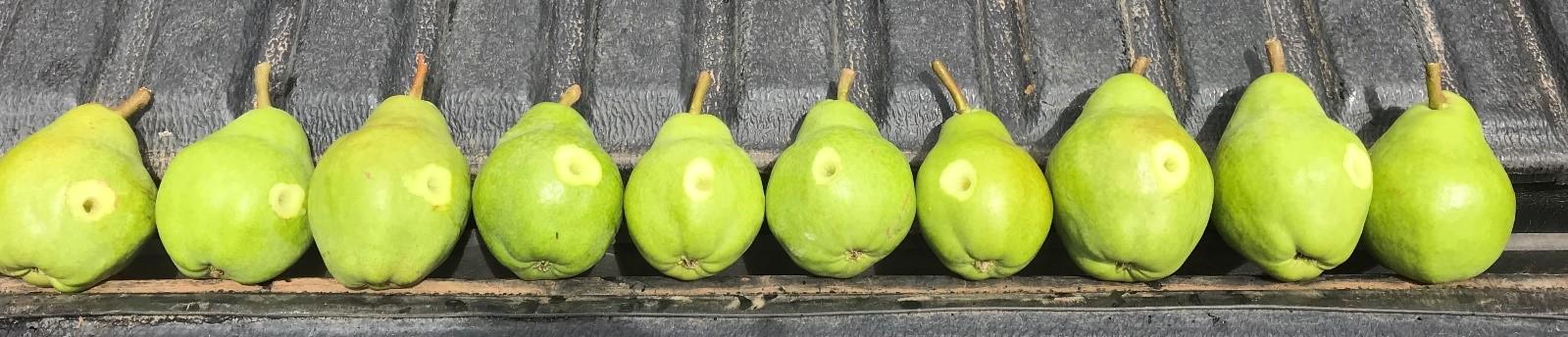 pear maturity test